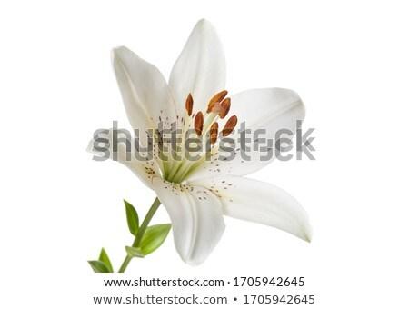 single lilly flower  Stock photo © netkov1