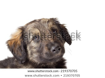 mixedbreed dog in a white background stock photo © vauvau