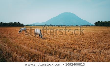 Verano paisaje agrícola campos cosecha cielo azul Foto stock © artjazz