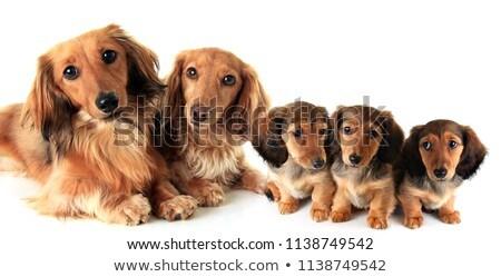 Groep studio hond puppy senior huisdier Stockfoto © cynoclub