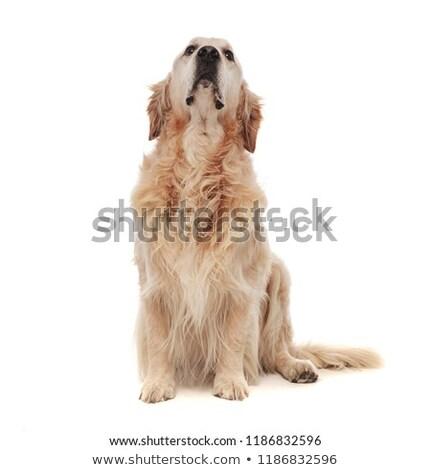печально · мало · Лабрадор · ретривер · щенков · собака · глядя - Сток-фото © feedough