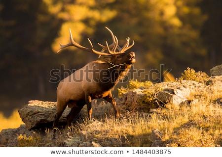 Bull Elk in a forest Stock photo © lightpoet
