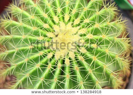 growing dry prickles cactus closeup stock photo © oleksandro