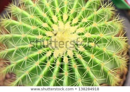 growing dry prickles cactus closeup stock photo © oleksandro