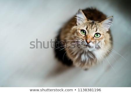 肖像 美しい 猫 黄色 子猫 ストックフォト © smuki