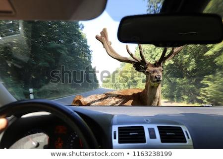 wild deers on rural road Stock photo © taviphoto