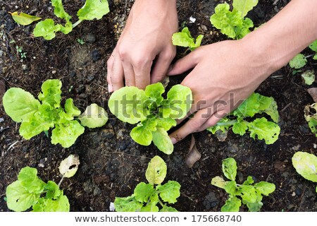 Senior planting vegetable seedlings Stock photo © sumners