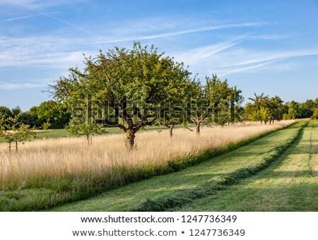 apple tree in typical rural landscape in Hesse, Germany Stock photo © meinzahn