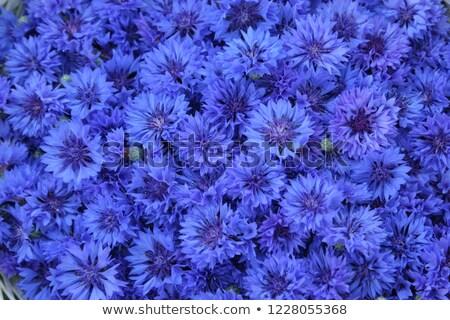 Blue cornflowers flowers Stock photo © neirfy