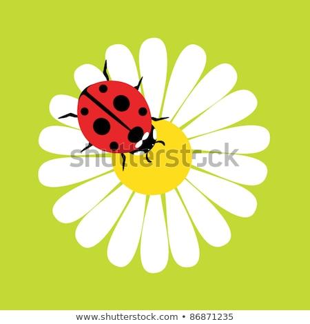 Uğur böceği beyaz papatya çiçek çiçek hayvan Stok fotoğraf © manfredxy