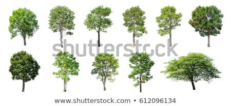 groot · boom · eiken · geïsoleerd · witte · gras - stockfoto © tungphoto