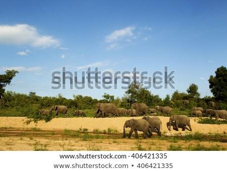 Nagy elefánt park vad Dél-Afrika eszik Stock fotó © compuinfoto