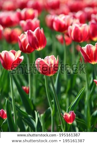red tulips with white border   shallow depth of field stock photo © mikko