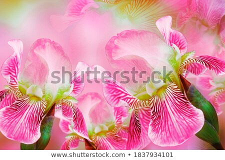 collage with pink and yellow irises stock photo © vavlt