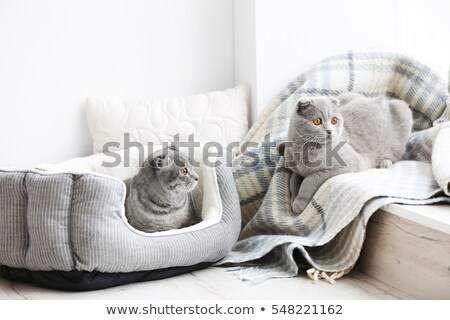 Coussin chat blanche lit studio Photo stock © cynoclub