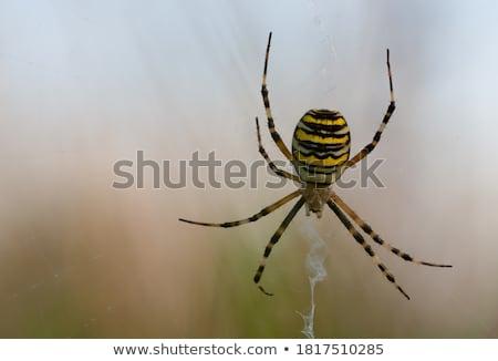 Stock photo: Wasp Spider