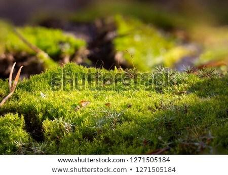 musgo · gotas · de · água · natureza · água · grama · jardim - foto stock © alessandrozocc