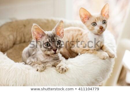 два · белый · кошек · синий · желтый · глазах - Сток-фото © catchyimages