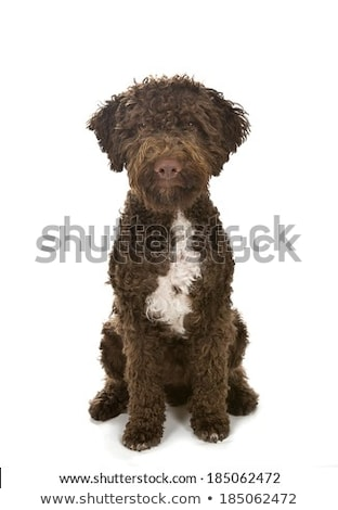 beautiful lagotto romagnolo dog on white background stock photo © svetography