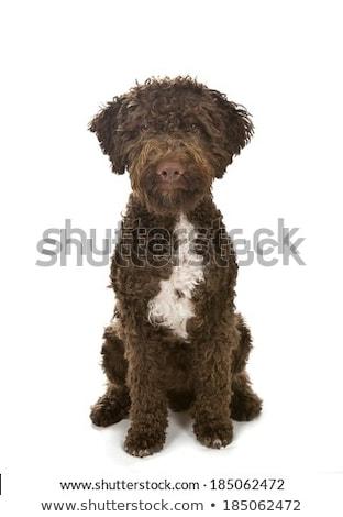 beautiful lagotto romagnolo dog on white background Stock photo © svetography