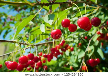 зрелый кислый вишни небольшой ковша полный Сток-фото © grafvision