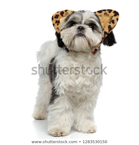 curious shih tzu with animal print ears looks up Stock photo © feedough