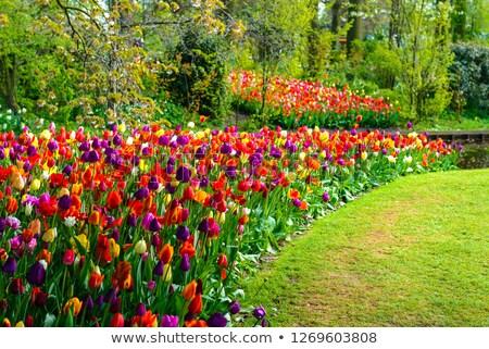Rojo tulipán jardín belleza verano cabeza Foto stock © luckyraccoon