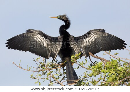 Anhinga (Anhinga anhinga) Stock photo © raptorcaptor