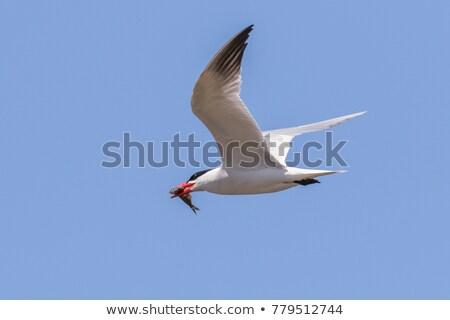zweven · vlucht · naar · vis · vogel · afrika - stockfoto © brm1949