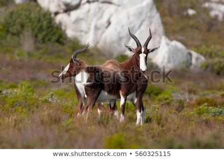 portré · veszélyeztetett · Dél-Afrika · arc · Afrika · állat - stock fotó © dirkr