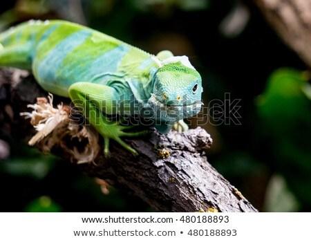 Fidzsi-szigetek iguana ül ág nyár zöld Stock fotó © Klinker