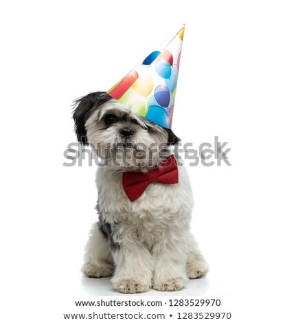 birthday shih tzu wearing bowtie sits and looks to side Stock photo © feedough