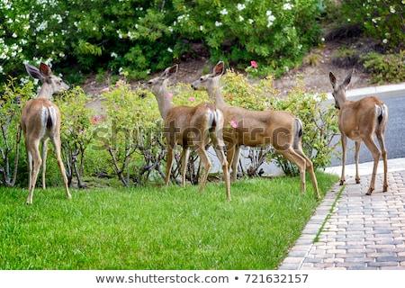 deer calf grazing Stock photo © taviphoto