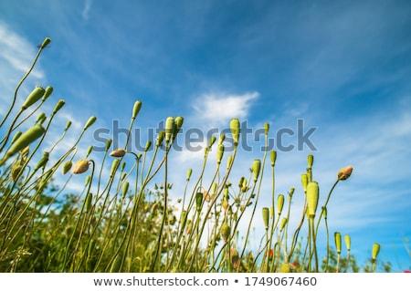 poppy pods stock photo © icefront