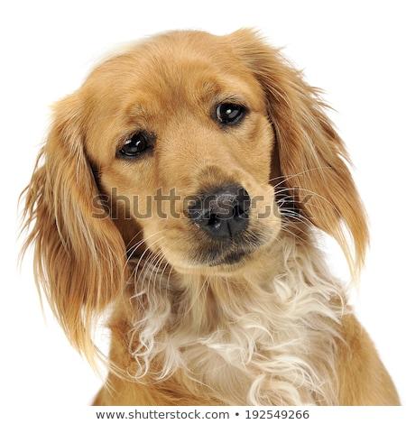 狗 工作室 快乐 美女 肖像 黄金 商业照片 © vauvau