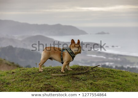 frans · bulldog · park · puppy · mannelijke · permanente - stockfoto © yhelfman