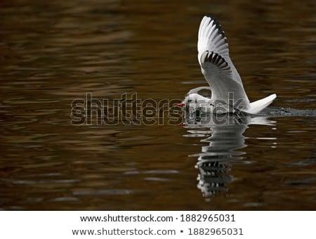 black headed gull in flight in a winter day stock photo © taviphoto