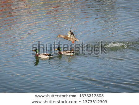 adult duck in river or lake water stock photo © simazoran