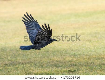 Stok fotoğraf: Uçan · siyah · çayır · kuş · tüy · hayvan