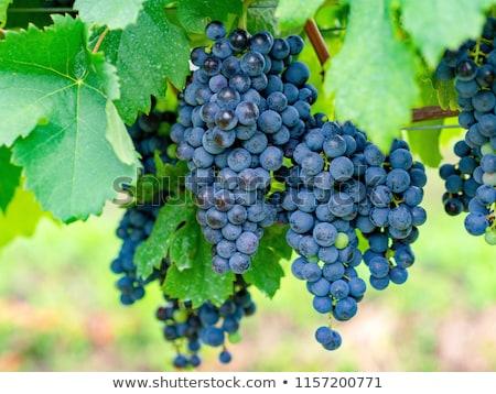 merlot · szőlő · szőlő · szőlőskert · étel · kék - stock fotó © microolga