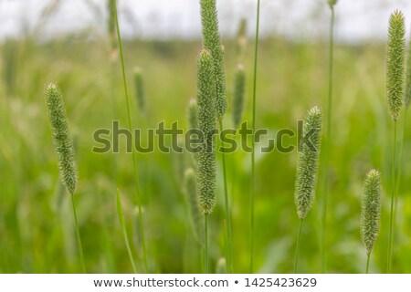 Verde feno campo verão doca planta Foto stock © Mps197