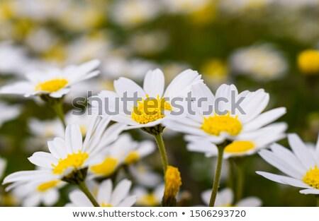 Field of wonderful daisy flowers on a summer day.  stock photo © lypnyk2