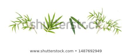Bambu yaprakları beyaz ağaç arka plan çerçeve Stok fotoğraf © szefei