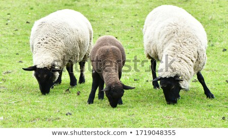 Suffolk black-faced sheep (Ovis aries) grazing on a meadow Stock photo © lightpoet