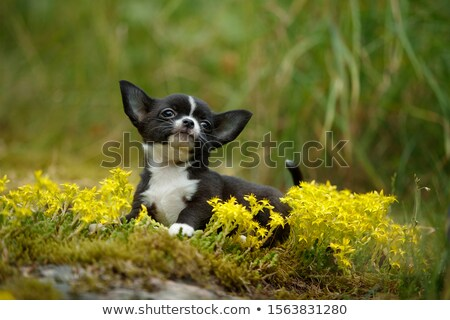 puppy chihuahua in the river Stock photo © cynoclub