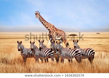 zebras in the african savanna stock photo © ajlber