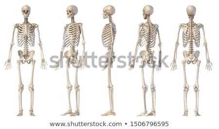 male human skeleton two views front and back stock photo © pixelchaos