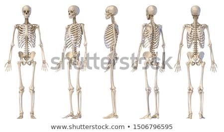 masculina · humanos · esqueleto · dos · frente · atrás - foto stock © Pixelchaos