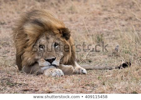 üzücü aslan bacak diken Stok fotoğraf © pcanzo