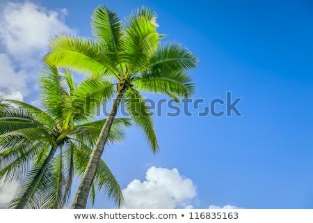 Görüntü güzel palmiye ağaçları mavi güneşli gökyüzü Stok fotoğraf © premiere